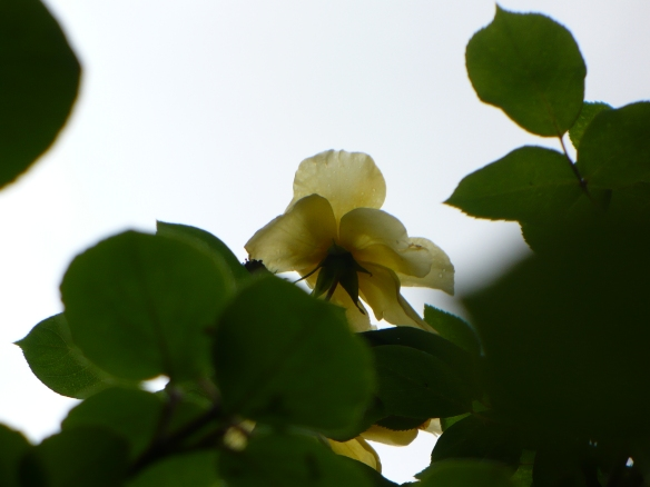 yellow rose reaching towards the sky
